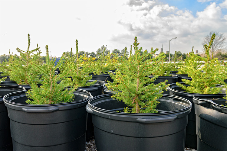 Pine saplings at the GM Hamtramck Plant. Photo by Doug Coombe.