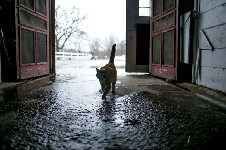 Ceasar the cat walks in the barn.