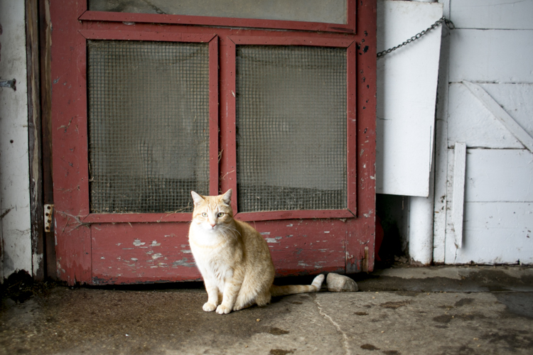 Ceasar the cat sits in the barn