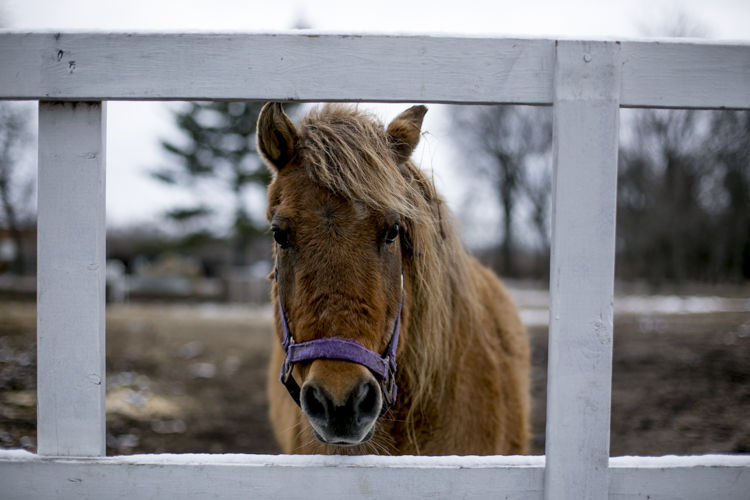A horse looks through a gate near the barn.