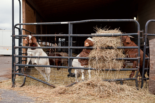 Goats belonging to Pingree Farm, which is owned and operated by Milton Manufacturing