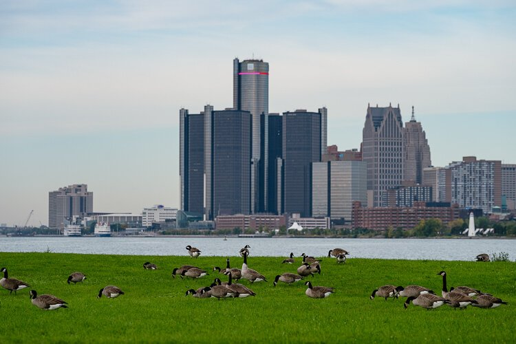 There's no shortage of geese at Belle Isle.