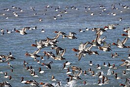 A large contingents of canvasback duck make themselves at home on Lake St. Clair.