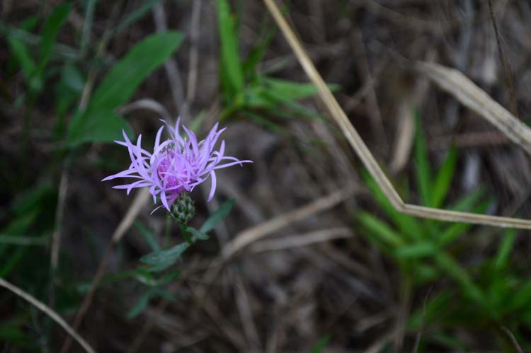 Spotted Knapweed, an invasive plant at Warren Dunes State Park. Photo by Mark Wedel.