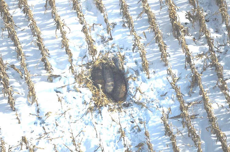 Aerial photo of feral swine in a standing cornfield, Mecosta County, January 2014. Photo courtesy Dwayne Etter.�