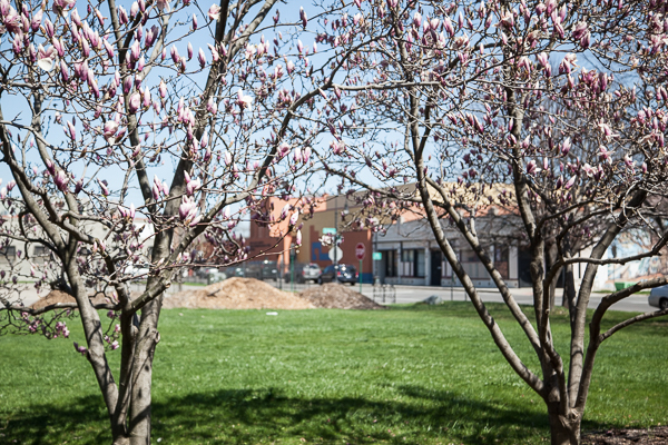 Trees in bloom in the pocket park next to Matrix Theatre