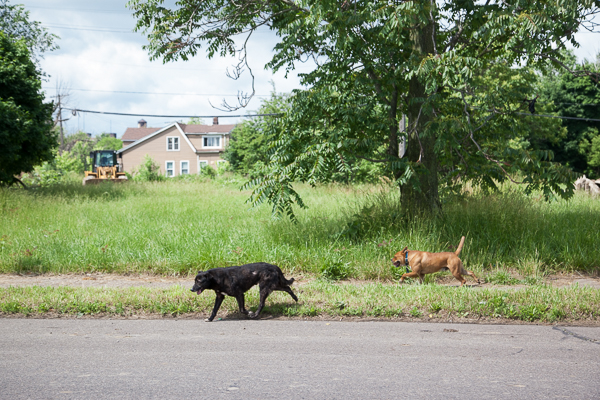 Stray dogs in Poletown