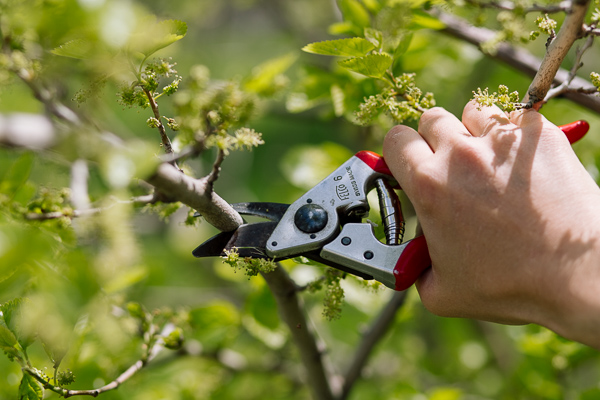 Cutting mulberry branches