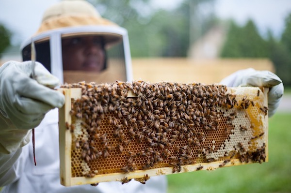 Nicole Lindsey holds a brood comb frame loaded with honeybees