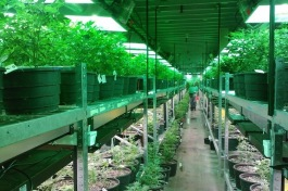 Growing marijuana in Colorado