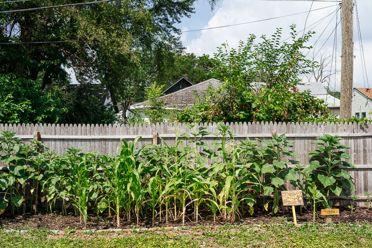 Corn at Warrendale community garden