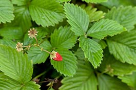Wild Strawberry. Credit: Wikimedia commons.