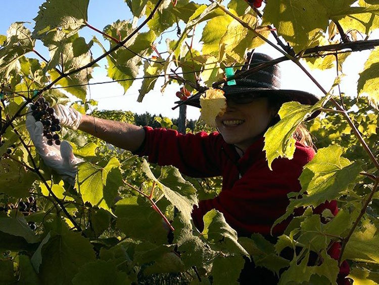 Picking grapes at Petoskey Farms Vineyard & Winery