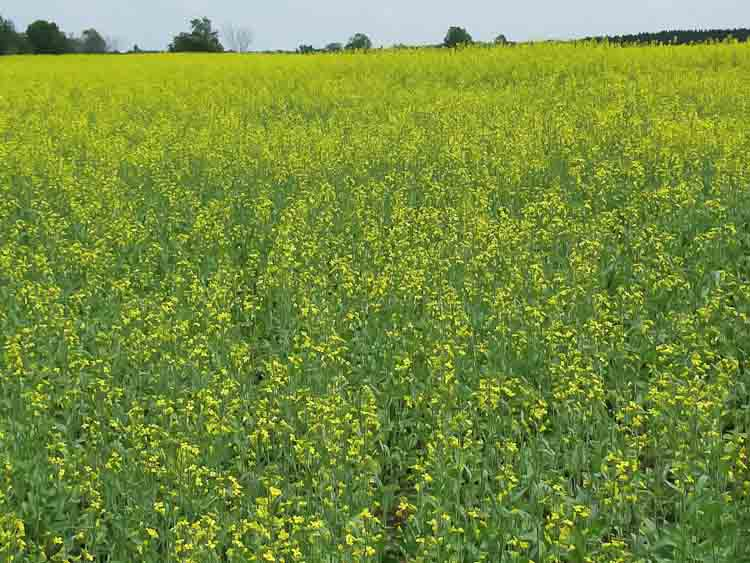 A flowering canola field at B & B Farms